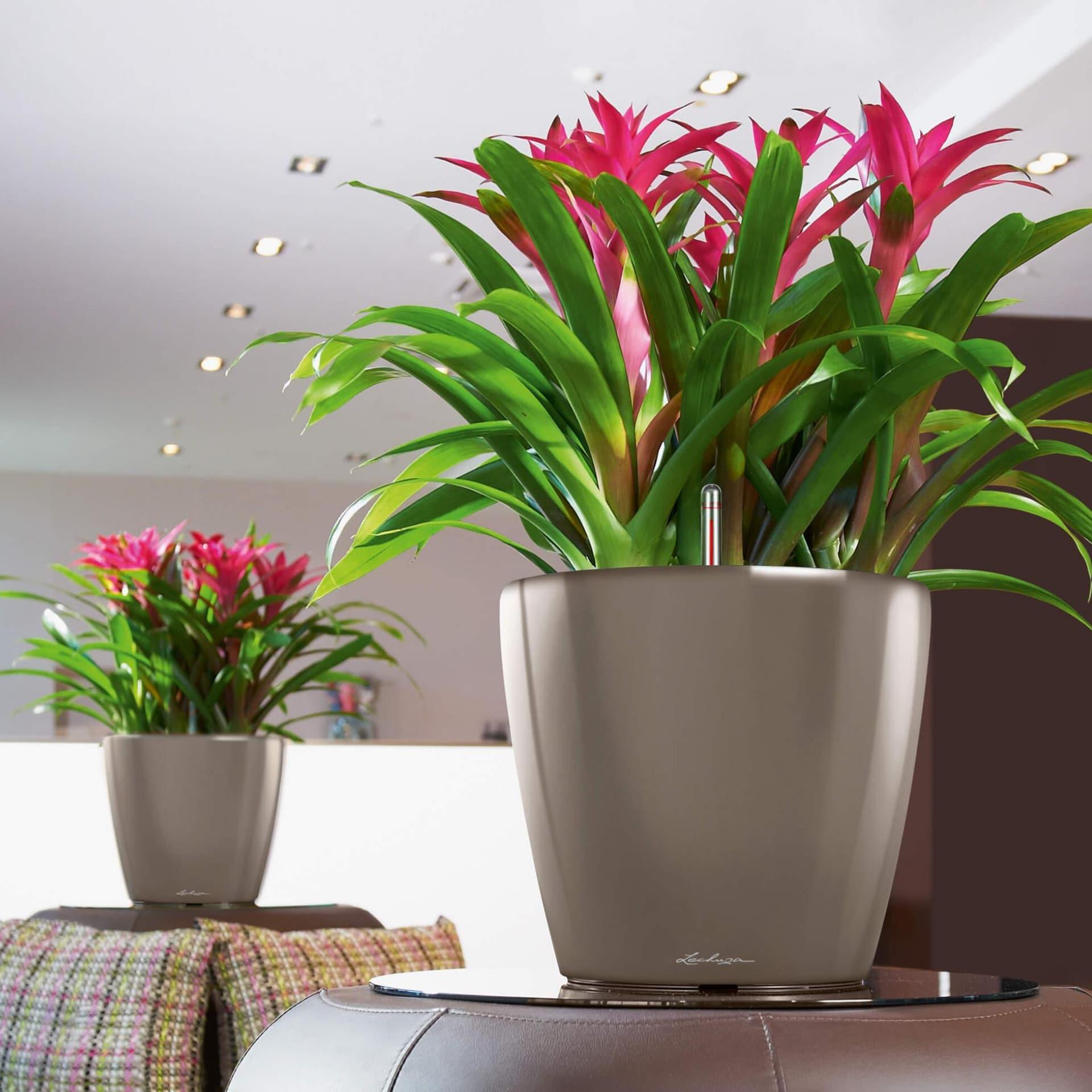 перловкой декоративные комнатные цветы фото и название этом разделе